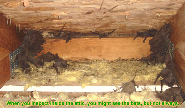 An Inspection Inside The Attic Is Very Helpful You Ll See Where Bat Droppings Are Concentrated And Often Cers Of Bats Clinging To Or Climbing