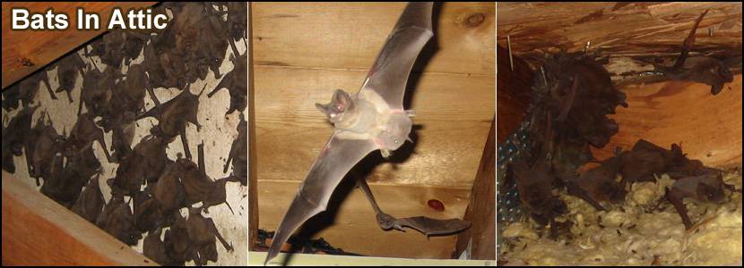 Bats In The Attic How To Safely And Humanely Remove And