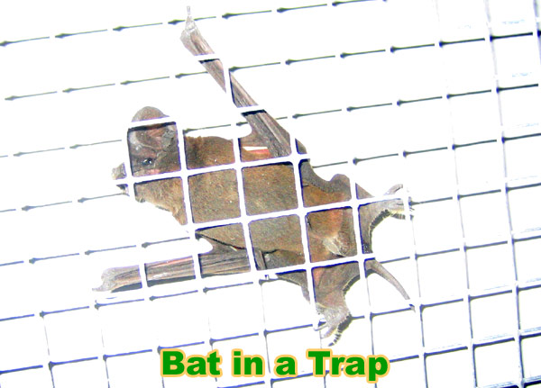 Bat Trap How To Trap Bats In A House Attic Building