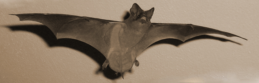 bats in the attic how to safely and humanely remove and get rid of