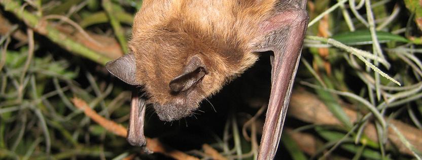 Do Mothballs Help Repel Bats